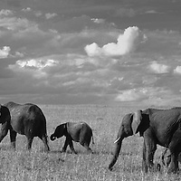 Elephant family walking in Masai Mara plains, Kenya