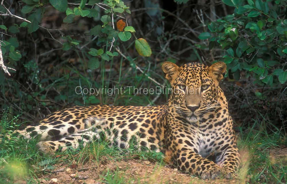 Leopard in Wilpattu National Park,