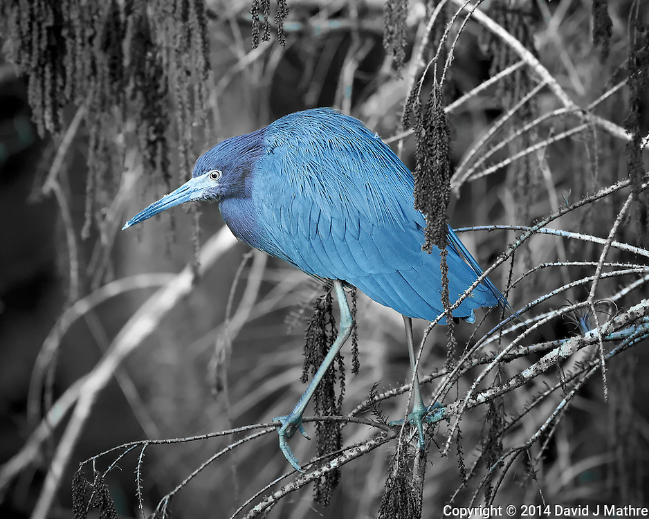 Little Blue Heron at Clyde Butcher's Front Pond. Big Cypress National Preserve in Florida. Image taken with a Nikon Df camera and 80-400 mm VRII lens (ISO 1600, 400 mm, f/5.6, 1/400 sec). Black and White + One Color using Capture One Pro 7.