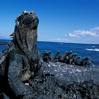 South America, Ecuador, Galapagos Islands, Marine Iguanas (Amblyrhynchus cristatus) resting in afternoon sun on lava on Fernandina Island