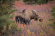 Female moose (Alces alces gigas) amid fall color, Denali National Park, Alaska