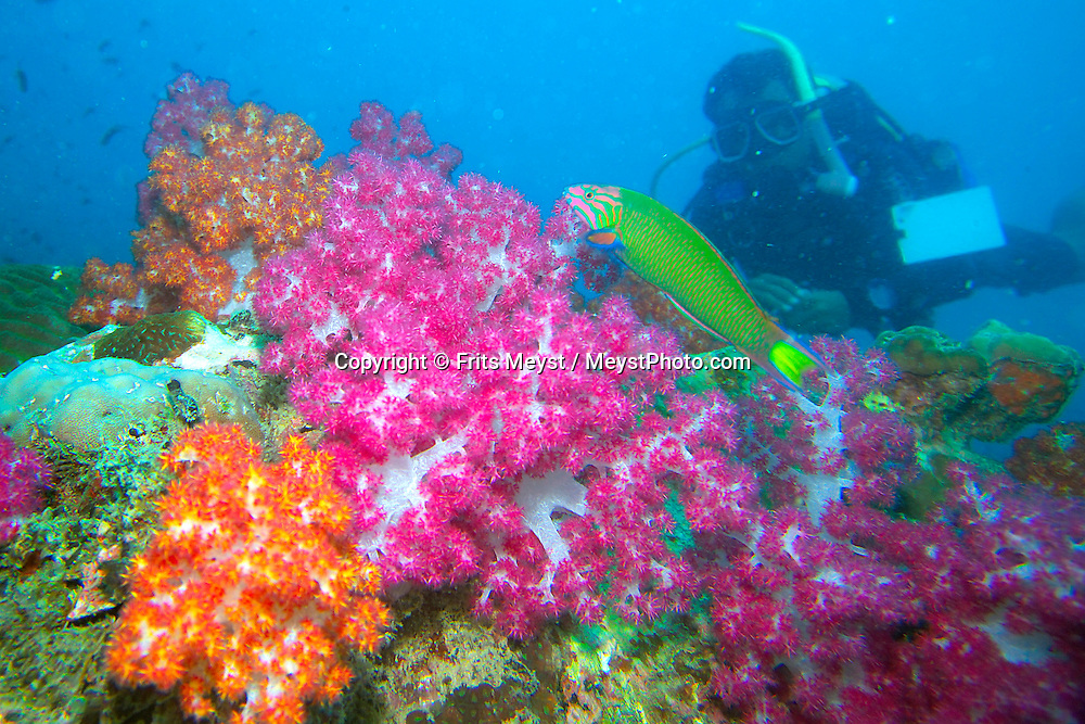 Pulau Besar, Perhentian Islands, Malaysia, April 2006.  A diver admires the soft corals at Tokong laut. diving off the Perhentian Islands one can see lots of big and small marine life and various sorts of hard and soft corals. Photo by Frits Meyst/Adventure4ever.com