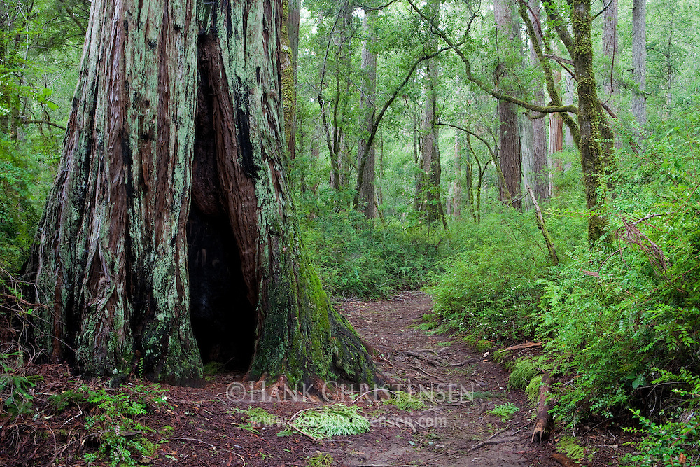 The Berry Creek Falls trail winds through giant redwoods, Big Basin Redwoods State Park