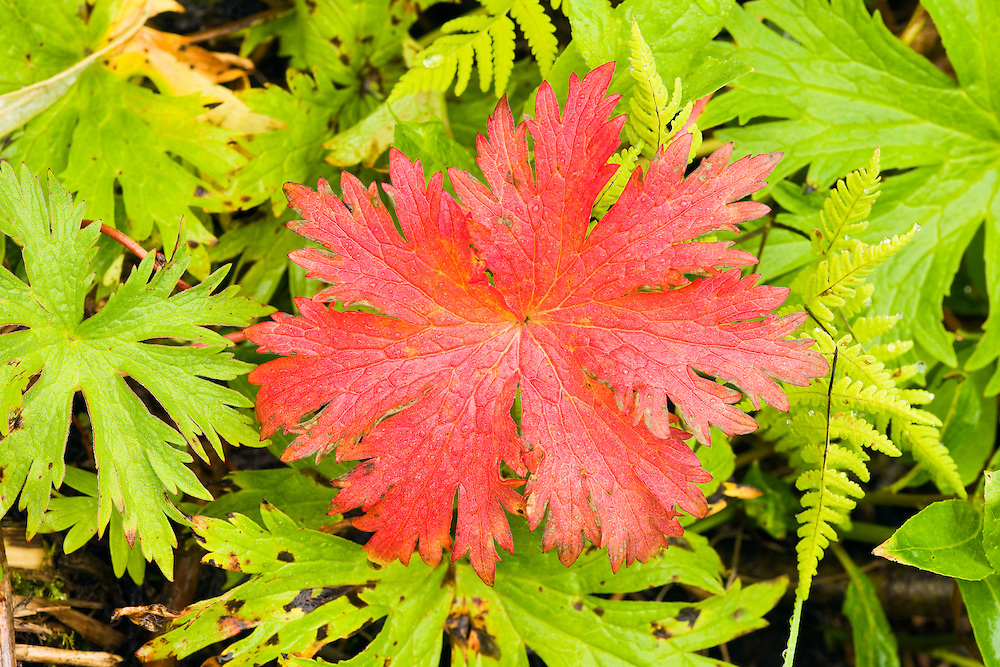 Closeup of red Wild Geranium leaf among green leaves in Archangel Valley at Hatcher Pass in Southcentral Alaska. Morning. Summer.