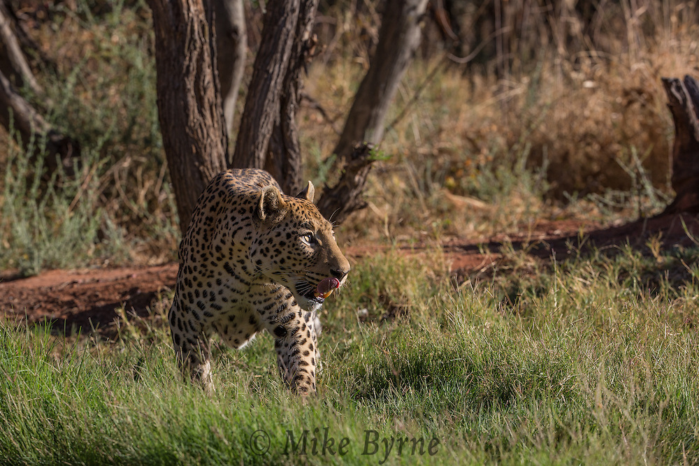 Leopard at Okonjima, Namibia.