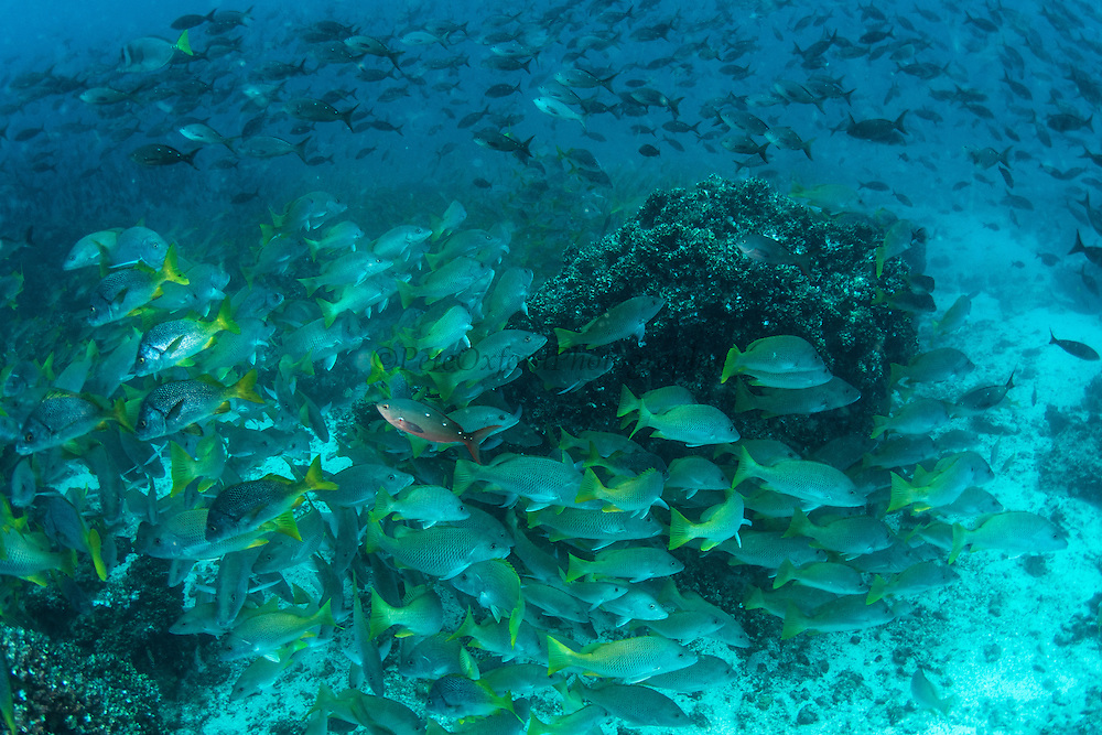 Yellow snapper (Lutjanus argentiventris) & Creole fish (Paranthias colonus)<br /> Devil's Crown<br /> Galapagos<br /> Pacific Ocean<br /> Ecuador, South America