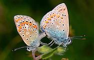 Alberto Carrera, Narural Colors Exhibition, Butterfly, Lycaenidae, Gossamer-Winged Butterfly, Guadarrama National Park, Segovia, Castilla y León, Spain, Europe.