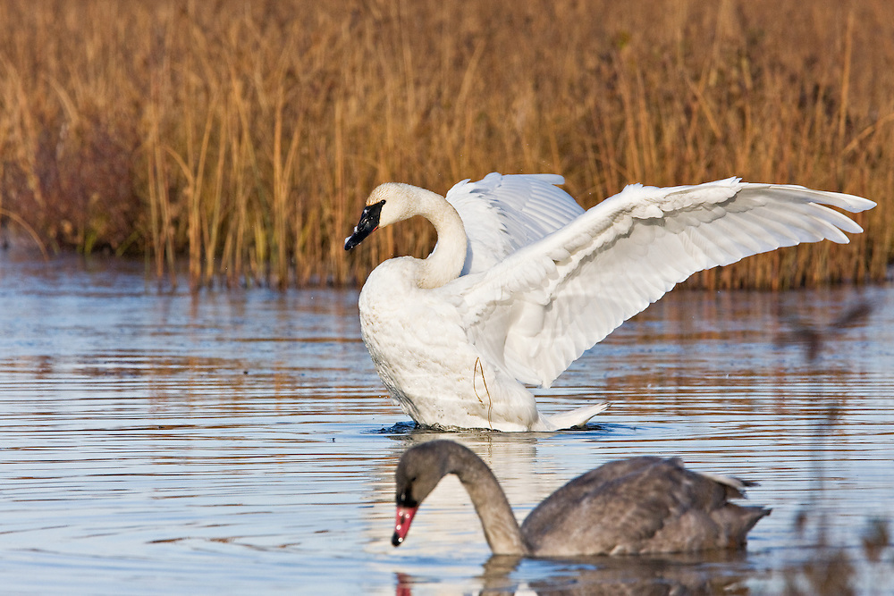 An adult Trumpeter Swans flaps its wings as a juvenile (cygnet) looks on at Potter Marsh, Turnagain Arm, Anchorage in Southcentral Alaska. Fall. Morning.
