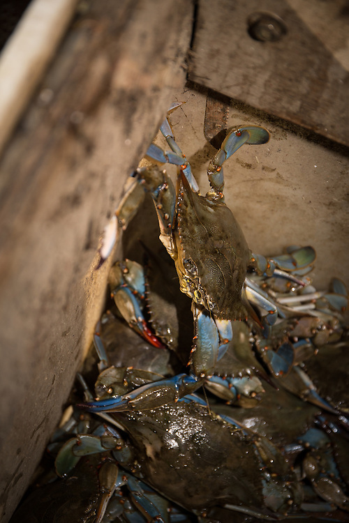 Crabs waiting fresh from the crab trap wait to be sorted. | October 11, 2015