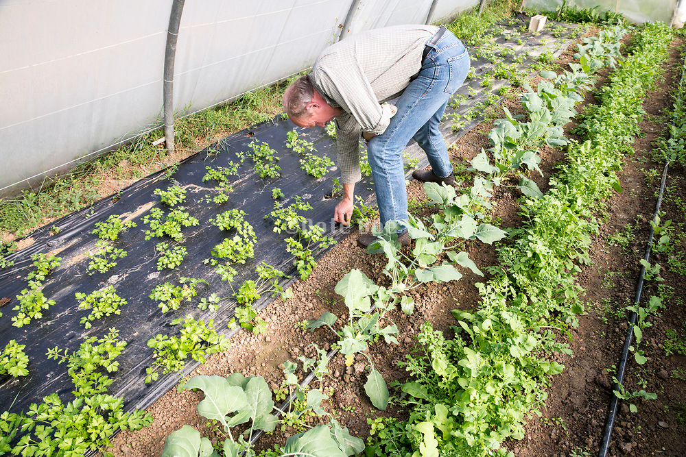 organic vegetables growing in a polytunnel