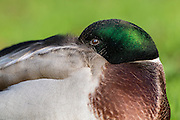Mallard duck displaying its rich green plumage