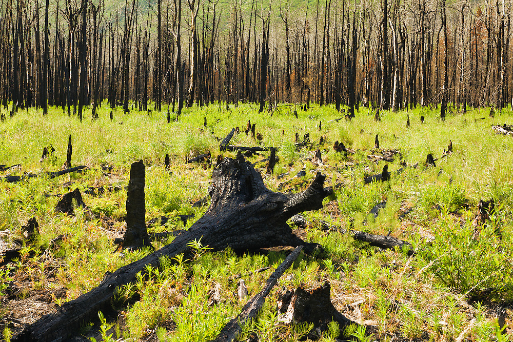Burned trees and tree stumps among new plant growth remain as reminders of the May 2010 fire at the southeast end of Eklutna Lake in Eklutna Valley in the Chugach State Park of Southcentral Alaska. Summer. Afternoon.
