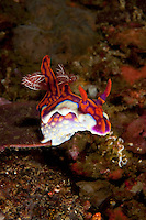 Nudibranch searching for its next move