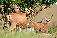 A Mule Deer doe and fawn takes advantage of mid-week quiet time in a Wyoming cabin community that is until I showed up and broke the silence!