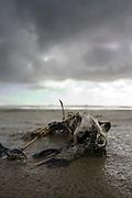 Een skelet van een eend is aangespoeld op het wad bij Terschelling<br /> <br /> Carcass of a dug at the beach of Terschelling