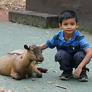 London,England,UK: 30th July 2016: Visitor playing with Sheep at ZLS London Zoo an opening day for Little Creatures Family Festival ,England, UK. Photo by See Li