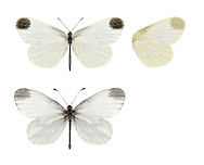 Cryptic Wood White - Leptidea juvernica. Male (top) - female (bottom).