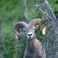 GNP Spring wild rocky mountain big horn sheep