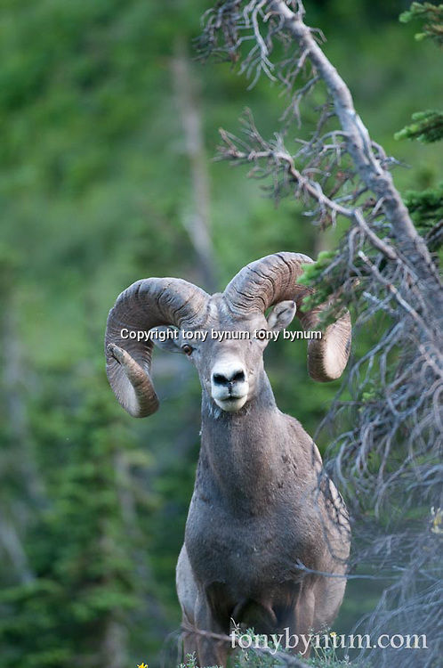 GNP Spring wild rocky mountain big horn sheep