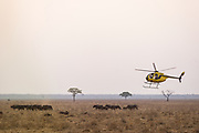 Hughes 500 helicopter (Pilot Barney O'Hara) & African buffalo (Syncerus caffer)<br /> Liwonde National Park, MALAWI, Africa<br /> Chopper used as a darting platform while testing buffalo for foot-and-mouth disease in a trans-border veterinary effort.