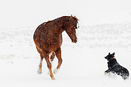 Horse, dog, playing, snowstorm, Montana