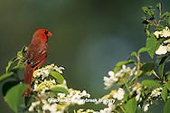 "01530-06315 Northern Cardinal (Cardinalis cardinalis) male in Double Viburnum bush ""Mariesii""  Marion Co.  IL"