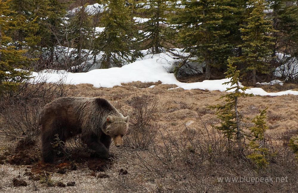 Grizzly bear, Ursus arctos,  digging along the Icefields Parkway