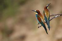 Bee-eaters in breeding colony, Bagerova Steppe, Kerch Peninsula, Crimea, Ukraine