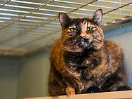Callie is an 8 year old spayed DSH mix cat.  She was surrendered by her owner because her owner needed to focus her attention on taking care of a family member.