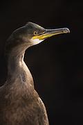 Cormorant portrait, Runde-Norway | Skarveportrett, Runde-Norge