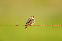 Grey-backed Cisticola perched on a farm fence wire, Overberg, Western Cape, South Africa