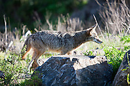 Coyote (Canis latrans) profile - Point Reyes National Seashore, California