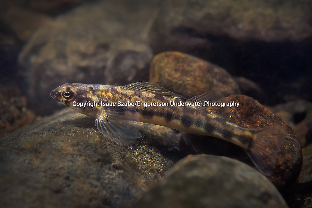 Appalachia Darter<br />