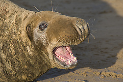 July 21, 2019 - Seal Lying On Beach (Credit Image: © John Short/Design Pics via ZUMA Wire)