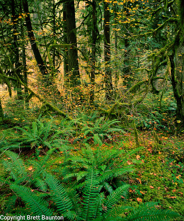 Nooksack River Valley, NW, WA, USA.Rain Forest in Mt. Baker National Forest..Moss, Ferns, Vine Maples and Old Growth Forest. Fall..Brett Baunton