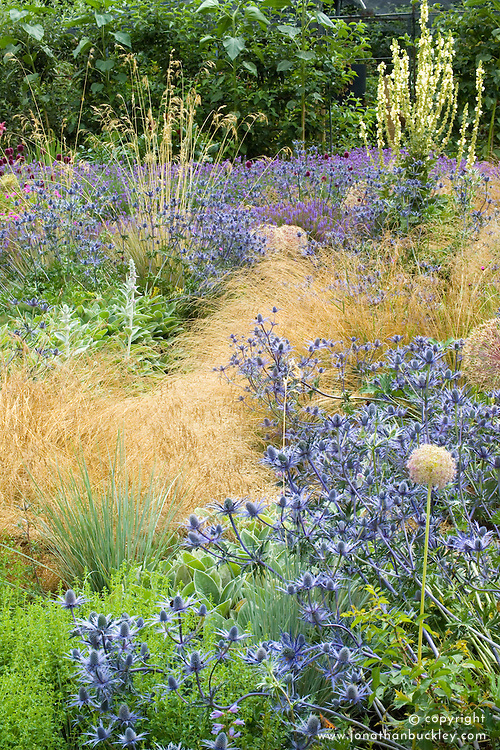 Eryngium x zabelii with grasses and verbascum at Broughton Grange