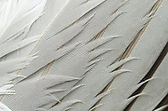 Grey feathers belonging to a seagull.