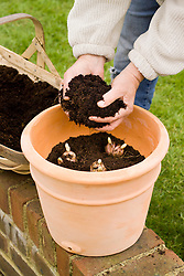Planting summer flowering lily bulbs in a terracotta container