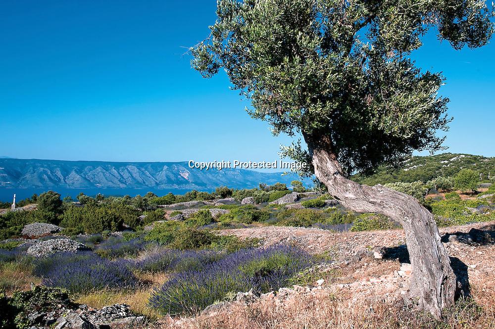 Il pousse une lavande unique sur l'île de Hvar, la plus ensoleillé des îles Croates.