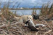 Ten-year-old Yellow Labrador Retriever, Rosie, brings back a Canada goose during a Manitoba waterfowl hunt