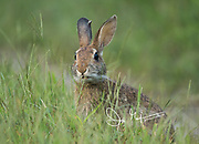 An Eastern cottontail rabbit chews on tall grass.