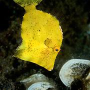Juvenile Filefish Monacanthidae sp. at Lembeh Straits, Indonesia.