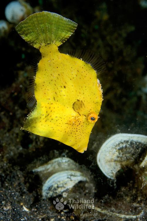 Juvenile Filefish Monacanthidae sp. at Lembeh Straits, Indonesia.