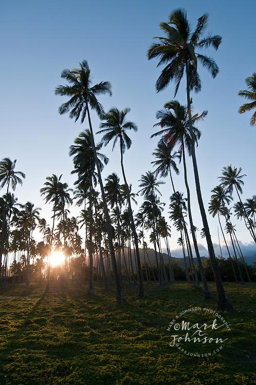Coconut Tree grove, Wailua, Kauai, Hawaii