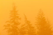 Eastern larch  (tamarack) trees in morning fog<br /> Corner Brook<br /> Newfoundland <br /> Canada