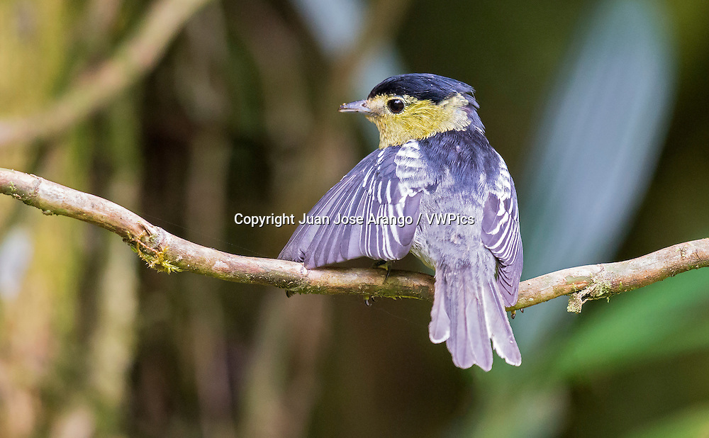 Barred Becard (Pachyramphus versicolor), male, Valle del Cauca