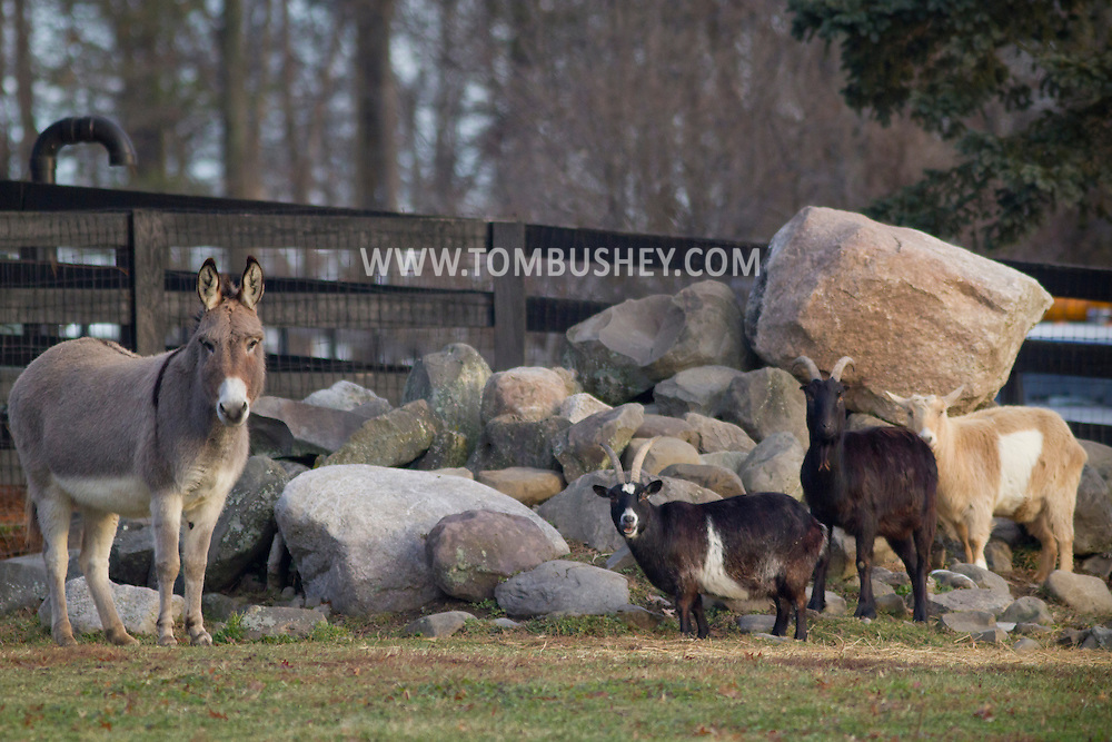 Goshen, New York - A group of animals on a farm on Dec. 7, 2014. ©Tom Bushey / The Image Works