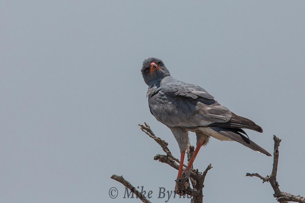 Pale Chanting Goshawk in Etosha, Namibia.