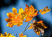 Acer circinatum (Vine Maple), Mount Tabor Park, Portland, Oregon