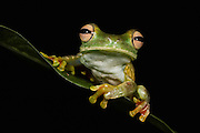 Palmar Treefrog (Hypsiboas pellucens) CAPTIVE<br /> Choc&oacute; Region of NW ECUADOR. South America<br /> HABITAT: Subtropical and tropical Forests.